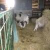 Buy Dorper sheep/Merino Sheep Online