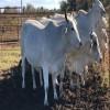 Buy Bonsmara,Brahman And Nguni Cattle Online
